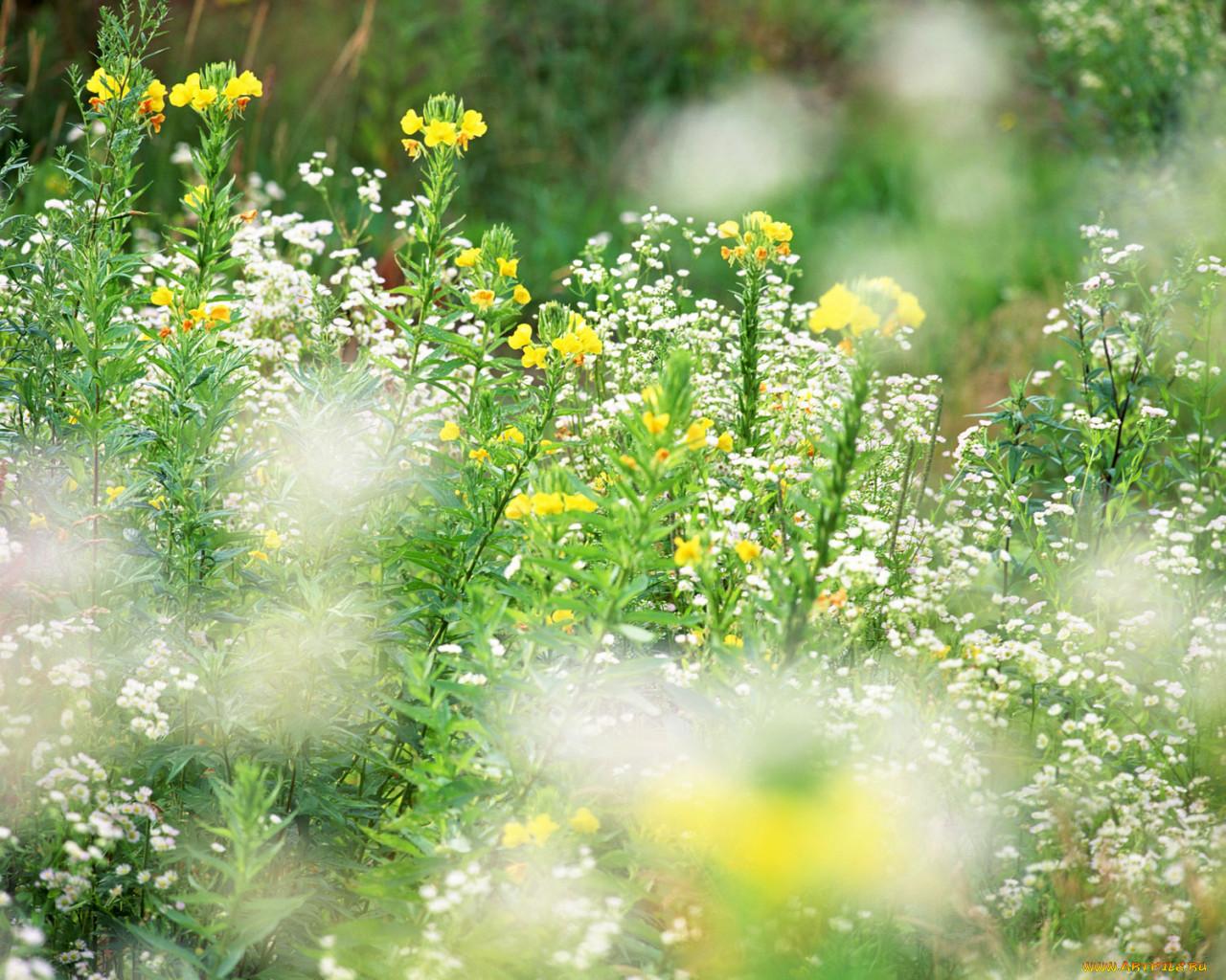 цветы, луговые, полевые