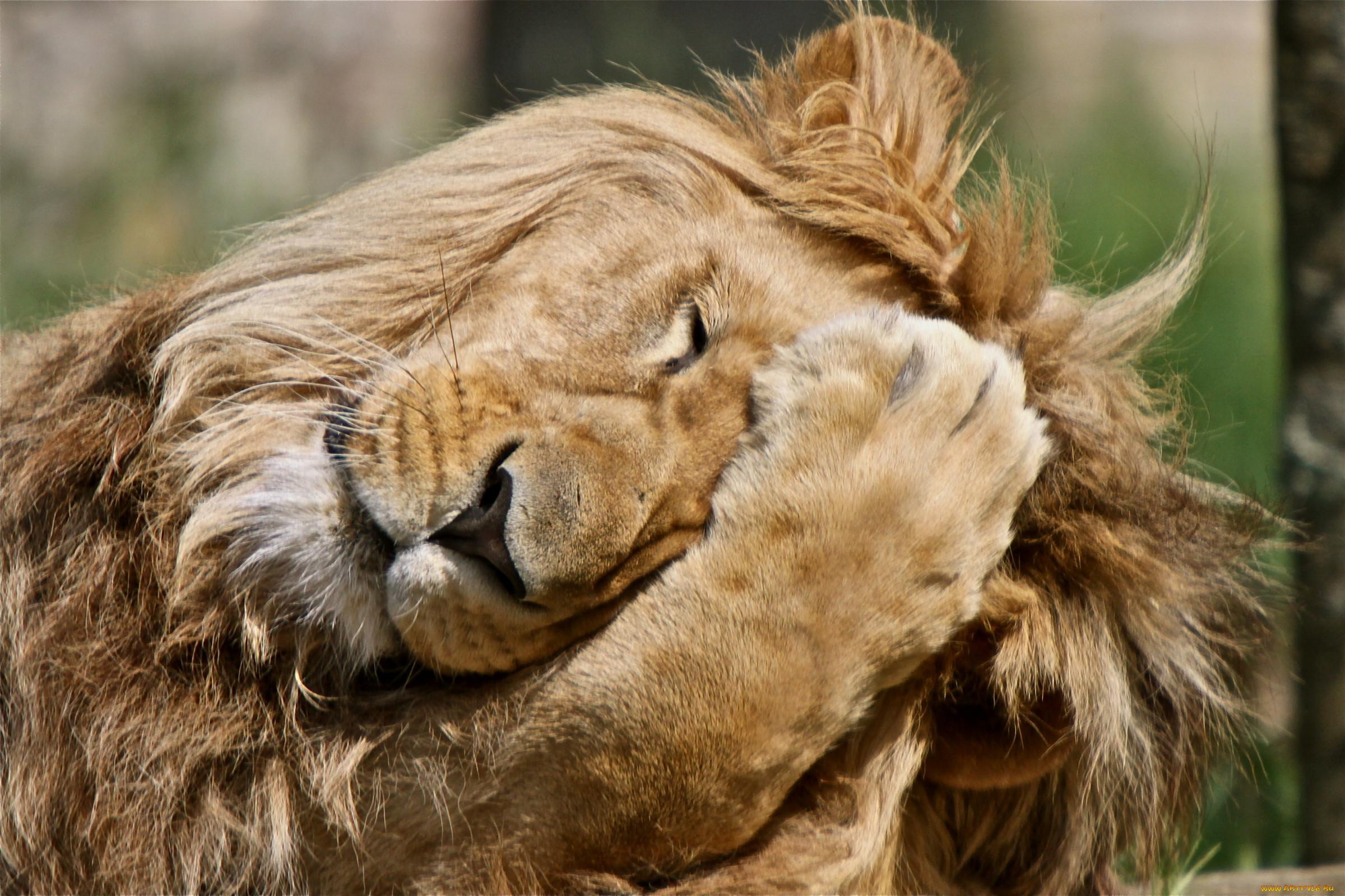 Животные Львы лапа, эмоции,...