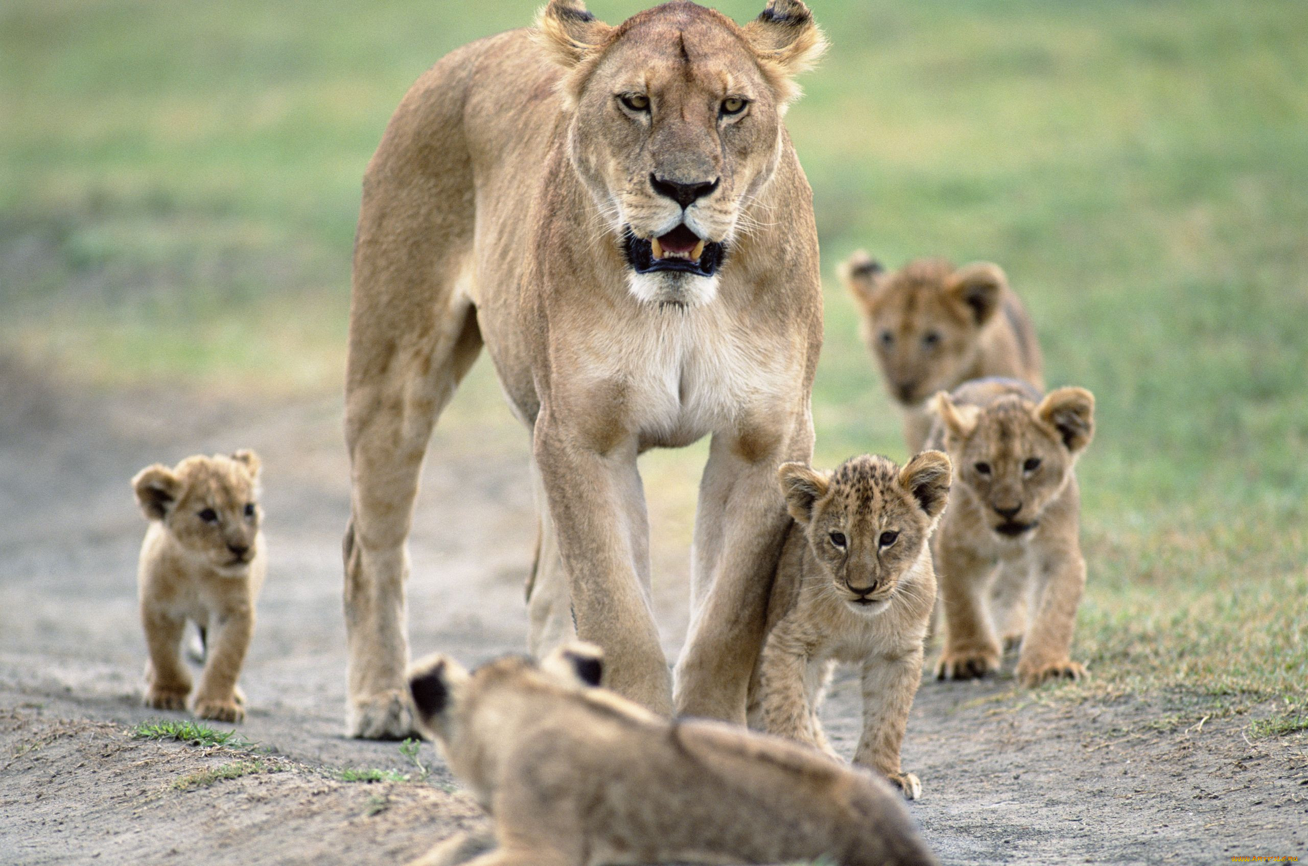 Животные Львы львица, львята,...