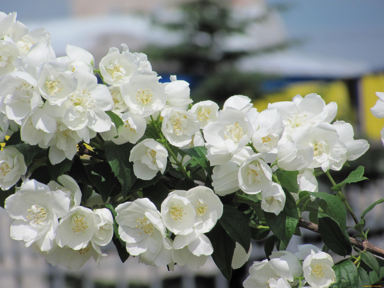 Цветы вида жасмин