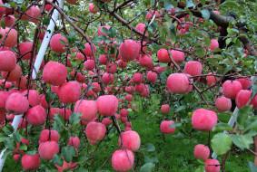 природа, плоды, роса, вода, осень, капли, яблоки, сад, урожай