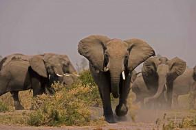 стадо слонов, млекопитающие, бегут, Слоны, саванна