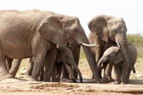 савана, водопой, слонята, млекопитающие, Слоны