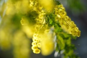 мимоза, желтый, пушистый, макро, весна