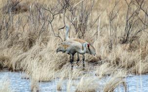 птицы, природа, Трава озеро