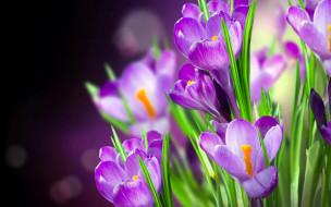 цветы, крокусы, сиреневые, цветение, листья