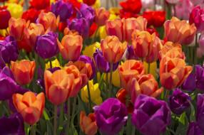 цветы, тюльпаны, лиловый, яркий, красный, желтый, весна
