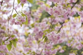 цветы, цветущие деревья ,  кустарники, весна, розовый, сакура, дерево, цветение