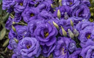 цветы, эустома, макро, лепестки, бутоны