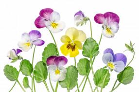 цветы, анютины глазки , садовые фиалки, лепестки, анютины, глазки, виола, макро