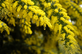 мимоза, весна, макро, пушистый, желтый