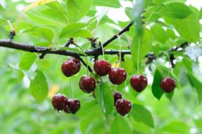 природа, Ягоды, ветка, дерево, черешня, капли