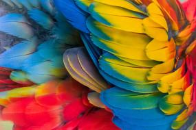 перья, разноцветные, попугай
