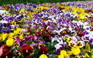Фон для телефона: природа, фиалки, анютины глазки, цветы, лето | 190x304