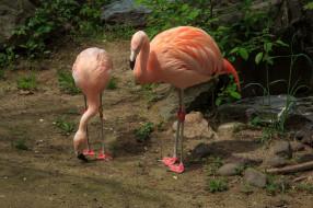 животные, фламинго, птичка
