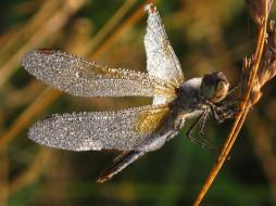 животные, стрекозы, стрекоза, стебель, травинка, роса, крылья, капли