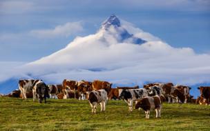 животные, коровы,  буйволы, гора, анды, Чили