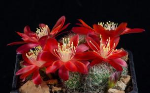 цветы, кактусы, цветок