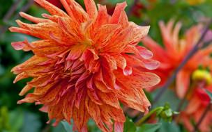 цветы, георгины, лепестки, розовые