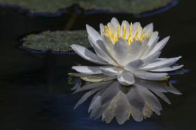 цветы, лилии водяные,  нимфеи,  кувшинки, отражение, цветок
