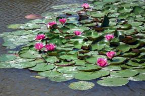 цветы, лилии водяные,  нимфеи,  кувшинки, водоем, водяные, лилии, листья, вода