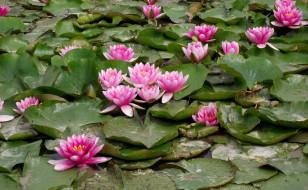 цветы, лилии водяные,  нимфеи,  кувшинки, листья, лилии, водяные, розовый