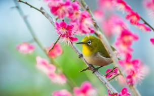 обои для рабочего стола 1920x1200 животные, белоглазки, сакура, белоглазка, птица, ветка, весна, цветение