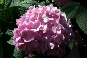 обои для рабочего стола 2560x1706 цветы, гортензия, розовый