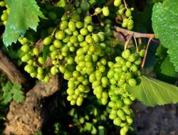 обои для рабочего стола 2048x1560 природа, Ягоды,  виноград, лоза