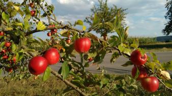 природа, плоды, яблочки