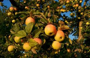 обои для рабочего стола 2048x1323 природа, плоды, яблочки