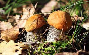 обои для рабочего стола 2400x1494 природа, грибы, листья, осень, подосиновики, пара