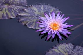 цветы, лилии водяные,  нимфеи,  кувшинки, водяная, лилия, вода, листья