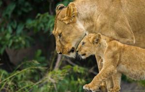 животные, львы, семья, львица, львенок