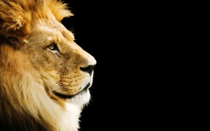 животные, львы, зверь, голова, грива, лев, хищник