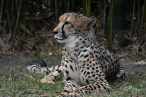 обои для рабочего стола 2048x1365 животные, гепарды, хищник