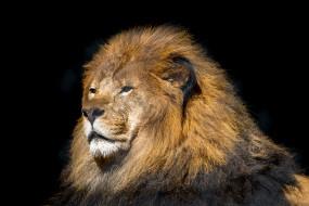 животные, львы, хищник