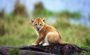 животные, львы, львенок, детеныш, бревно, трава