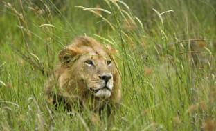 животные, львы, трава, хищник, зверь, лев