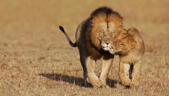 животные, львы, львица, лев, саванна, хищники, ласка, нежность, пара