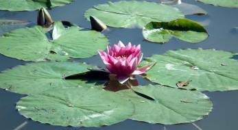 цветы, лилии водяные,  нимфеи,  кувшинки, бутоны, листья, вода