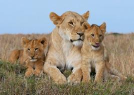 животные, львы, семя, прайд