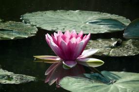 цветы, лилии водяные,  нимфеи,  кувшинки, листья, вода