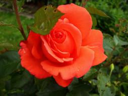 цветы, розы, алый, макро