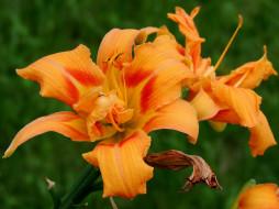 цветы, лилии,  лилейники, лилейник