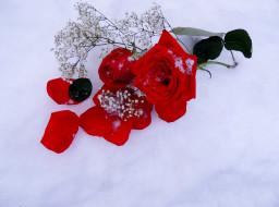 цветы, розы, снег, алый, лепестки