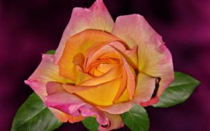 цветы, розы, бутон, лепестки, фон, роза