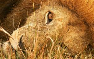 животные, львы, отдых, трава, хищник, зверь, голова, лев