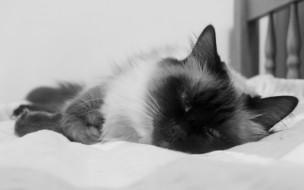 животные, коты, кот, кошка, кровать, бирманская, черно-белая