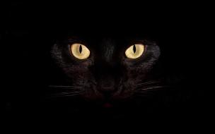 животные, коты, кошка, кот, глаза, черный